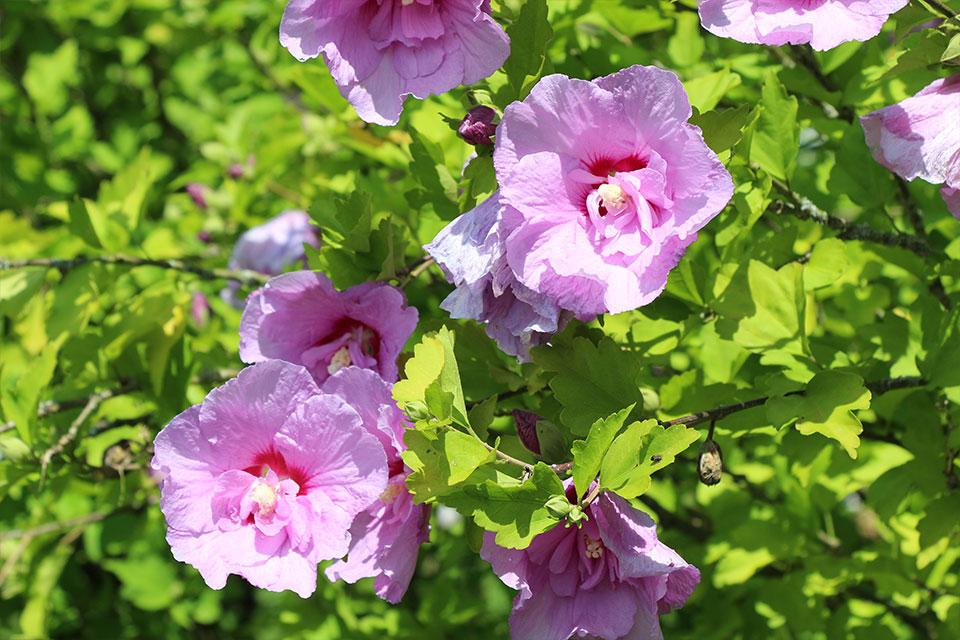 Cvetovi hibiskusa