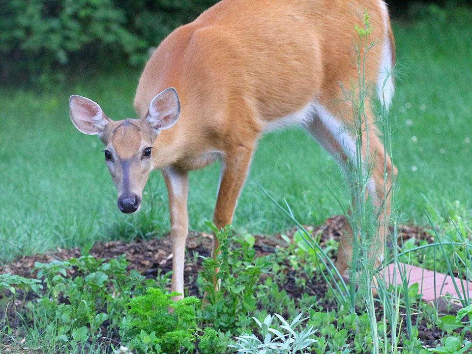 Srne, jeleni, divje svinje v vrtu in rešitve za preprečevanje škode