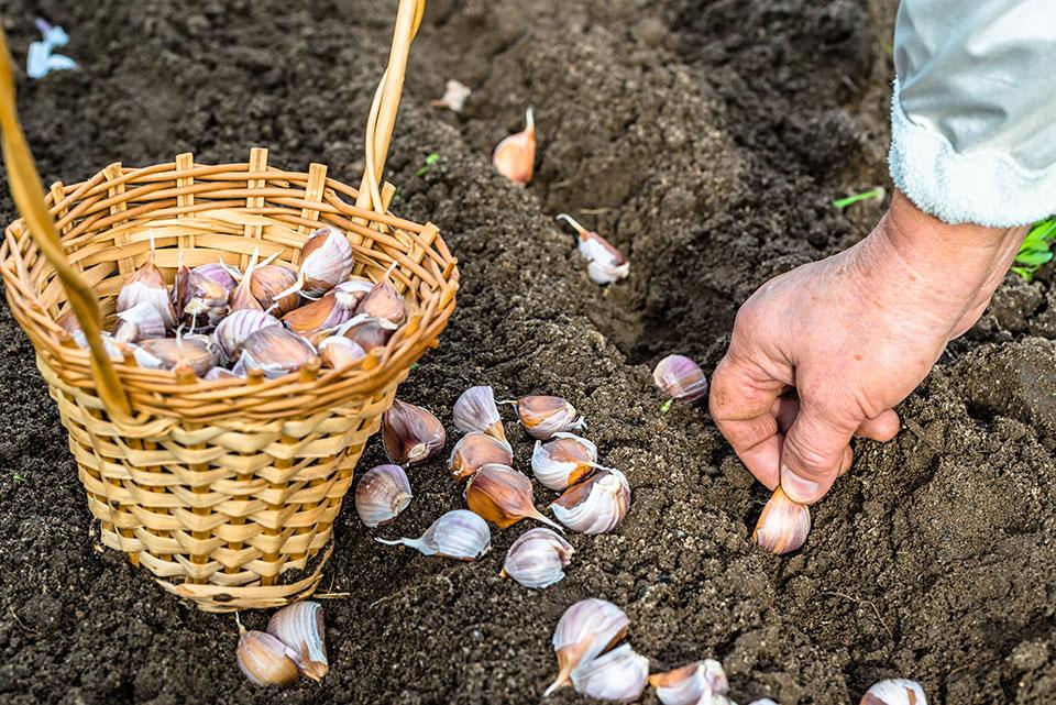 Jesenske setve, sajenje, spravilo pridelka in priprava vrtnih gredic