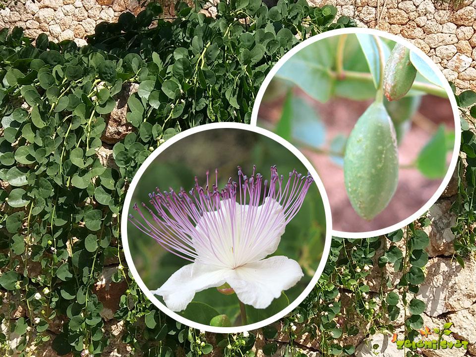 Kapre ali navadni kaprovec gojimo v vrtu, suhozidu in posodah