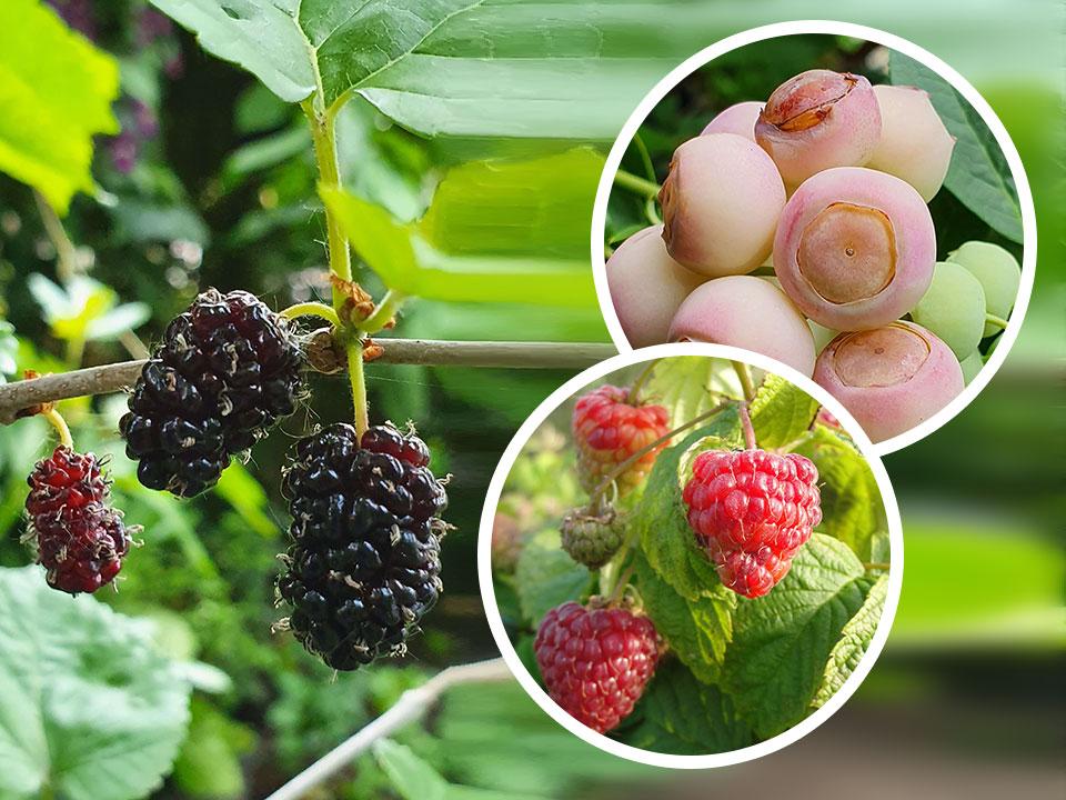 Vrtne posebnosti in novosti-pritlikava murva, roza borovnica, nizka malina