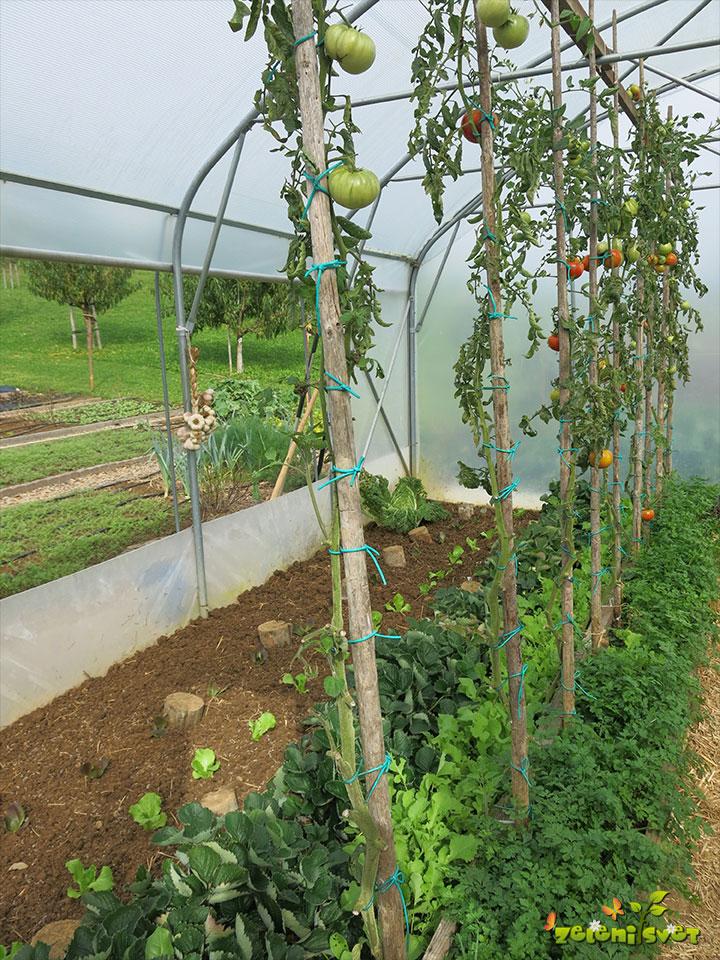 rast paradižnika rastlinjak