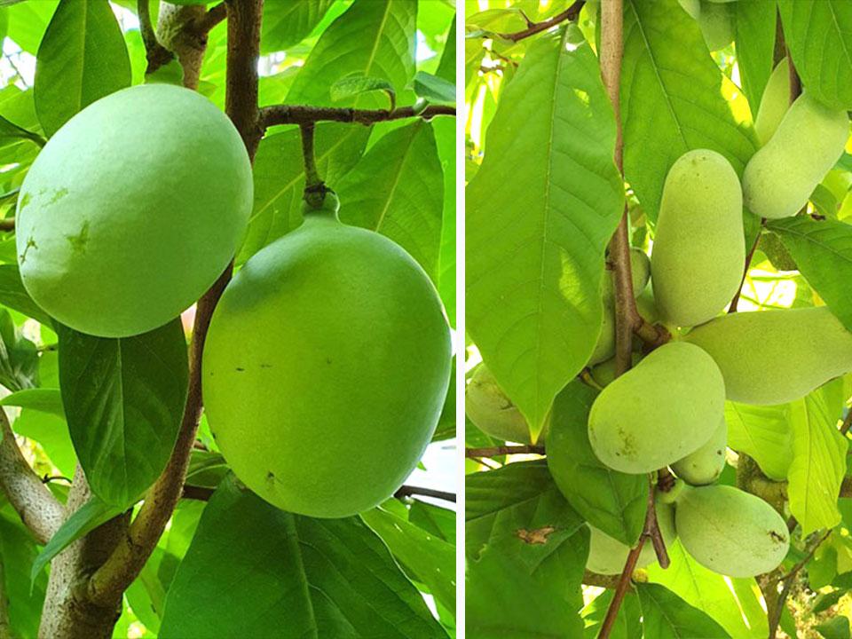 Asimina ali indijanska banana in vrhunske Petersonove sorte