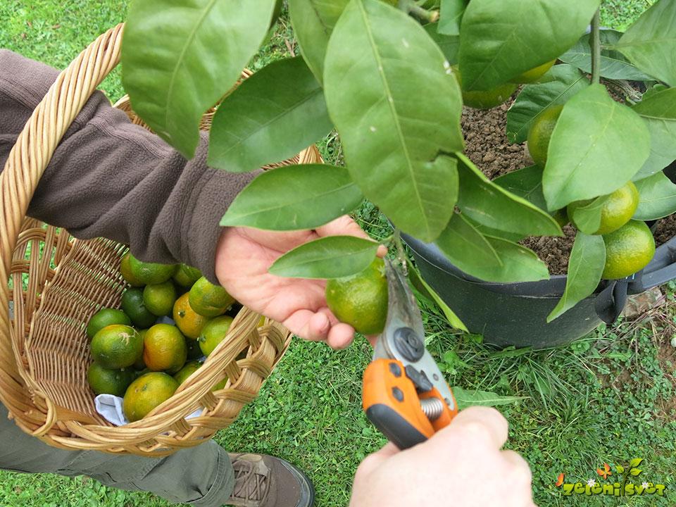 Obiranje odličnih domačih mandarin v Sloveniji