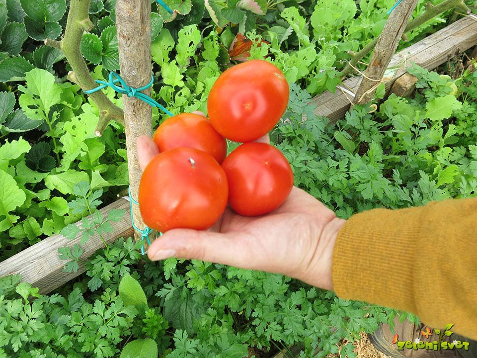 Obiranje odličnega domačega paradižnika v oktobru