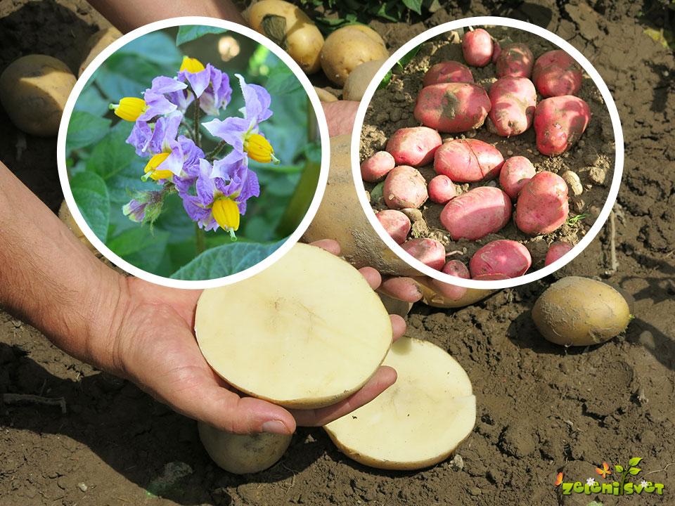 Najbolj odporna, okusna in zgodnja sorta krompirja v Sloveniji