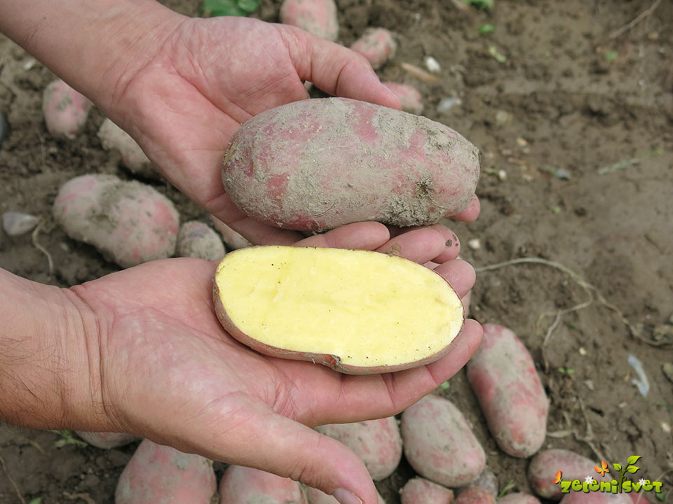 krompir aluette