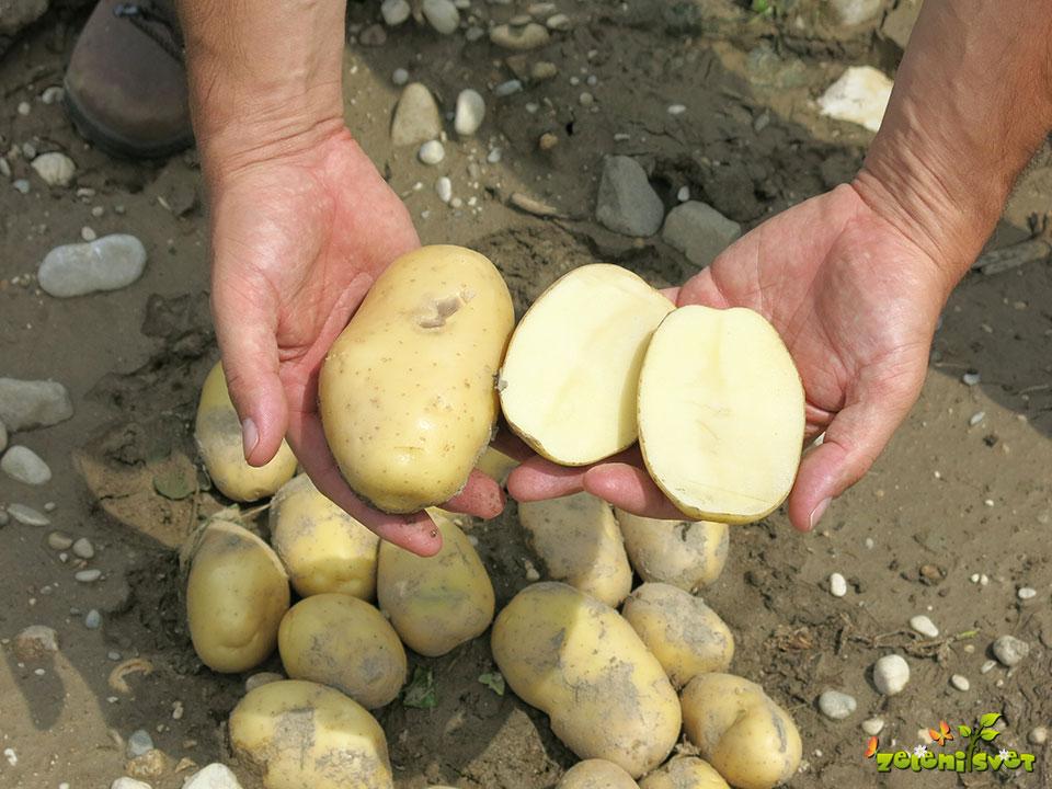 krompir arrow