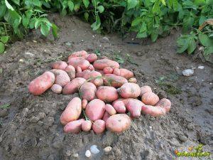 krompir manitou