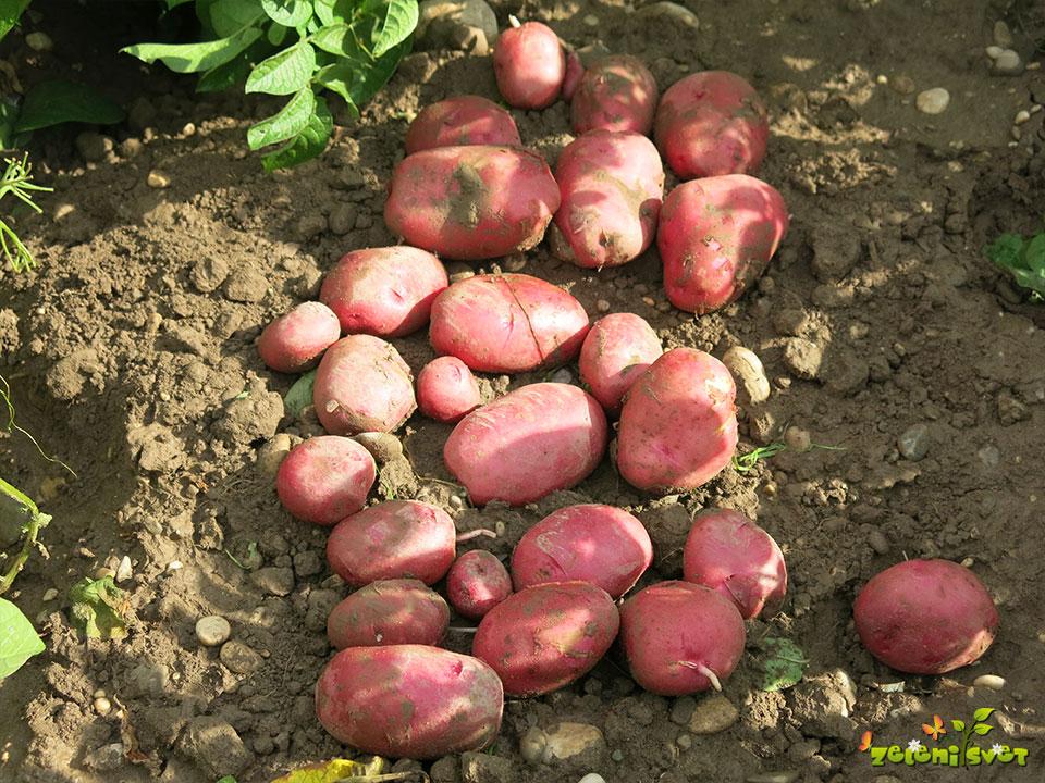 krompir rudolph