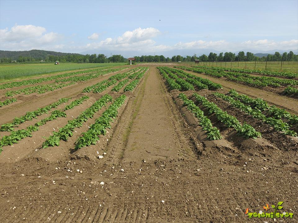interseme krompir poskusno polje sneberje ljubljana