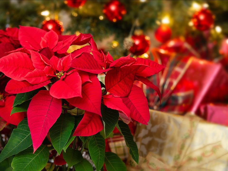 božična zvezda