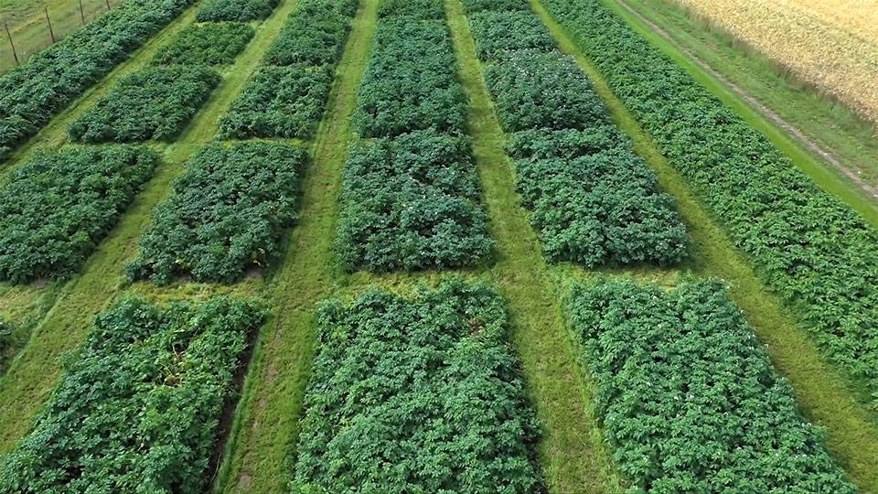 krompir poskusno polje