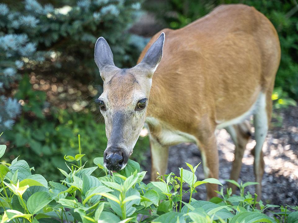 Odganjalec za srne, jelene, divje prašiče, lisice, kune in ostalo divjad