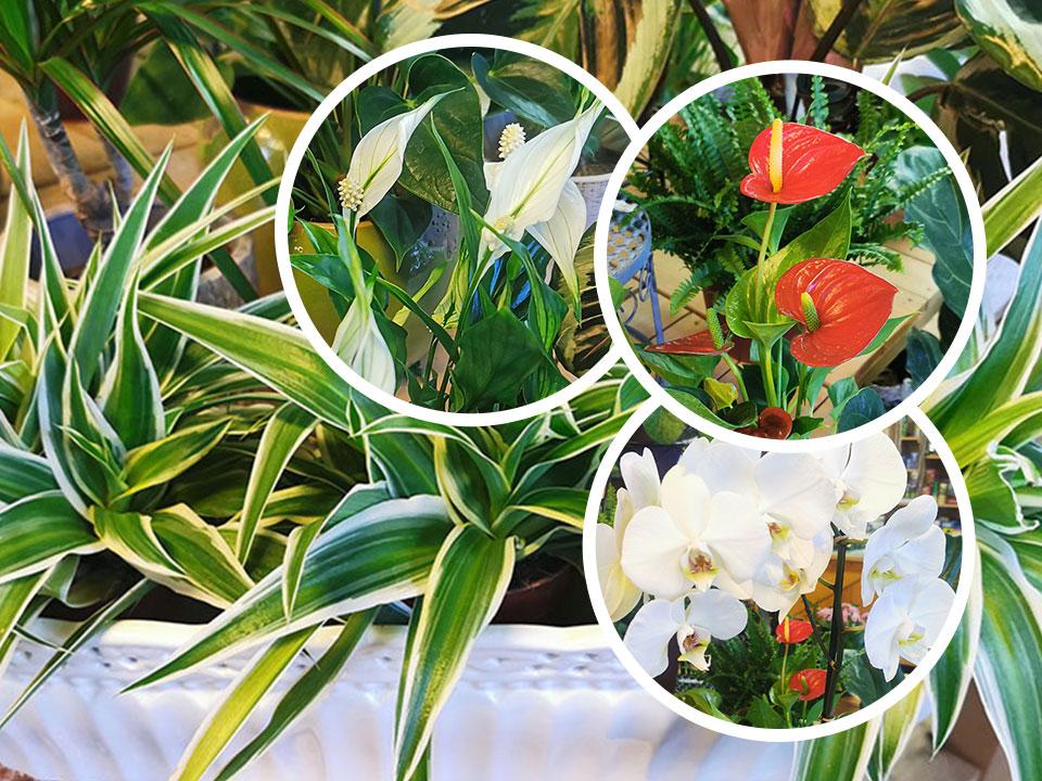 10 najboljših sobnih rastlin za čistejši zrak
