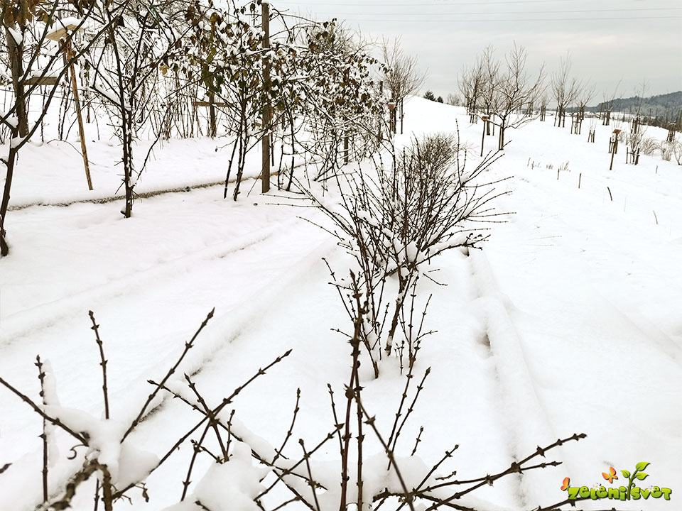 Sneg in mraz imata tudi koristi za sadno drevje in jagodičje