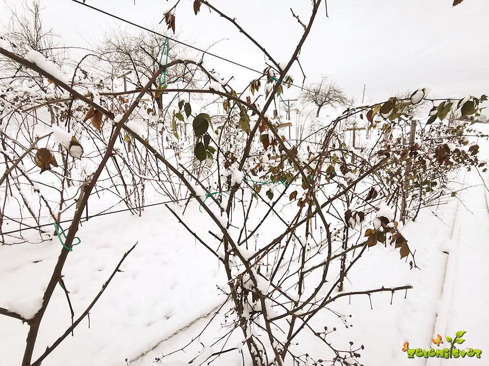 robide in maline v snegu