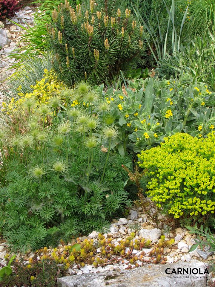 pritlikavi bor in cvetoče rastline skalnjak