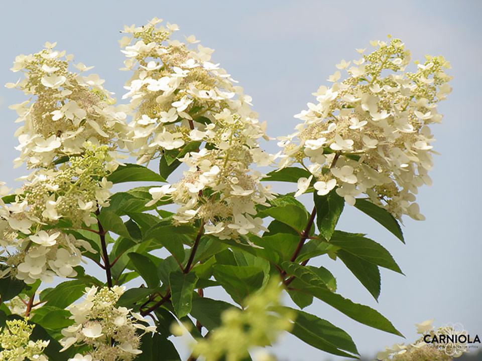 Mavrična hortenzija, lepotica z velikimi cvetovi