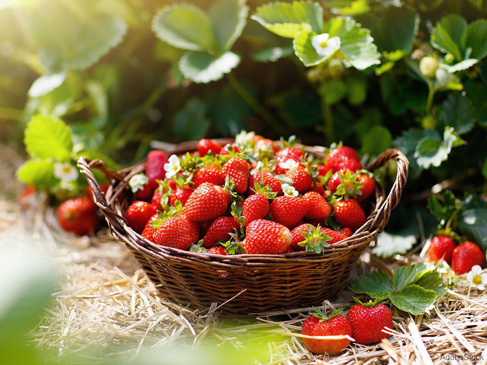 jagode na vrtu