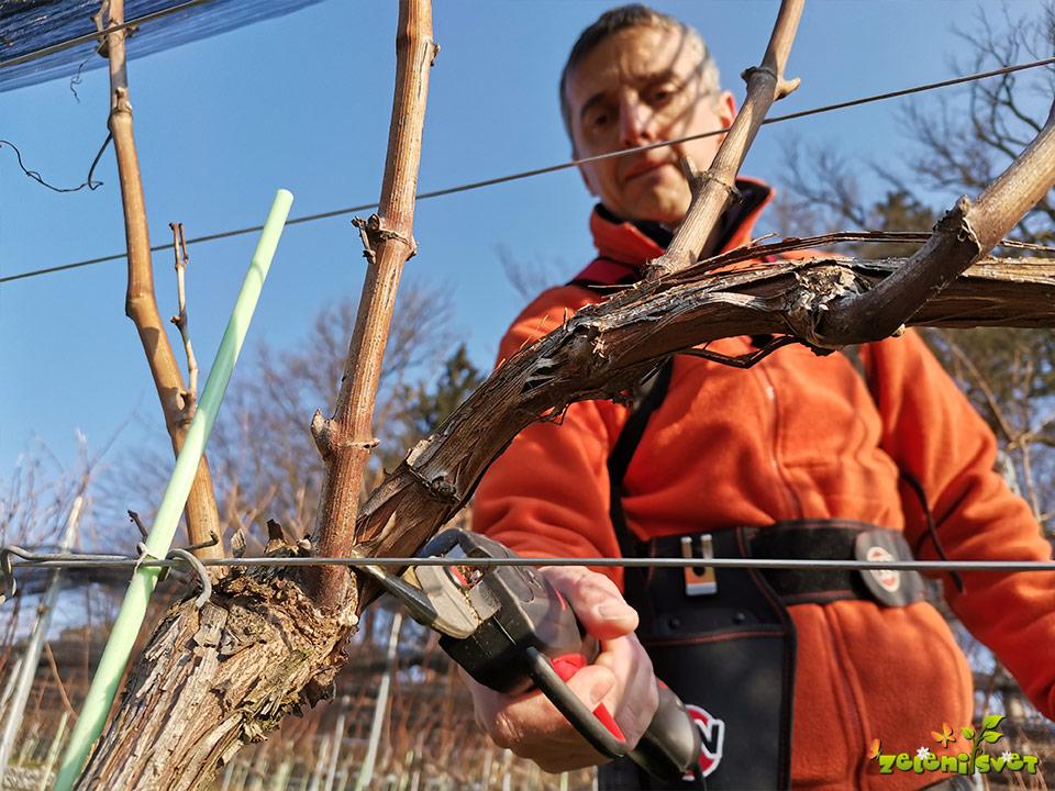 Zimska rez trte na šparon in čep ter privezovanje ob osnovno žico