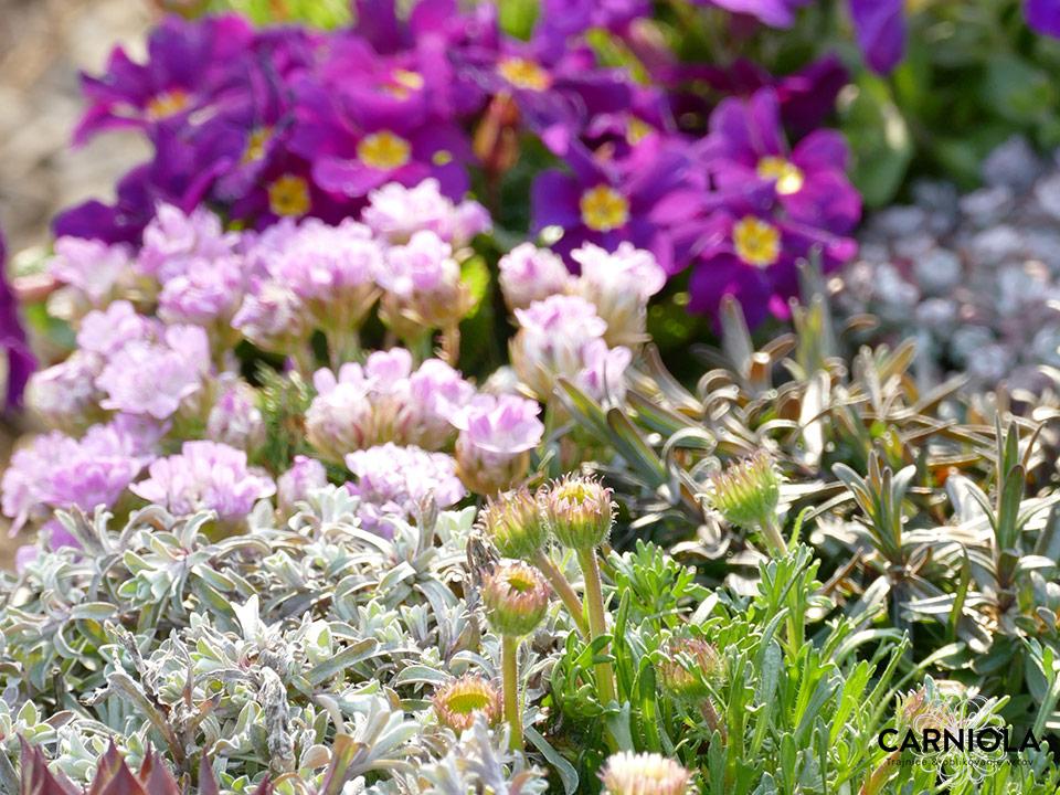 Najlepši skalnjaki in trpežne cvetoče lepotice