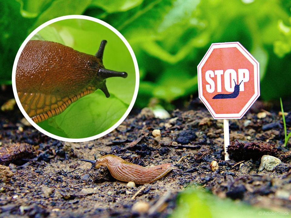 Požrešni vrtni polži in učinkovita zaščita vrta