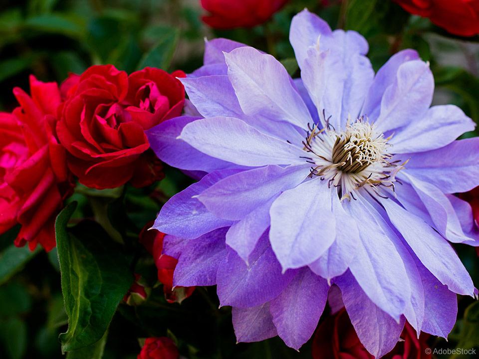 FOTO 3 Klematisi in vrtnice so odlična cvetoča kombinacija