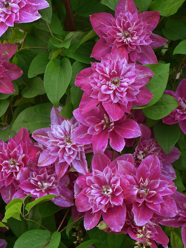 Veliki vrstnati cvetovi klematisa sorte 'My Darling'.