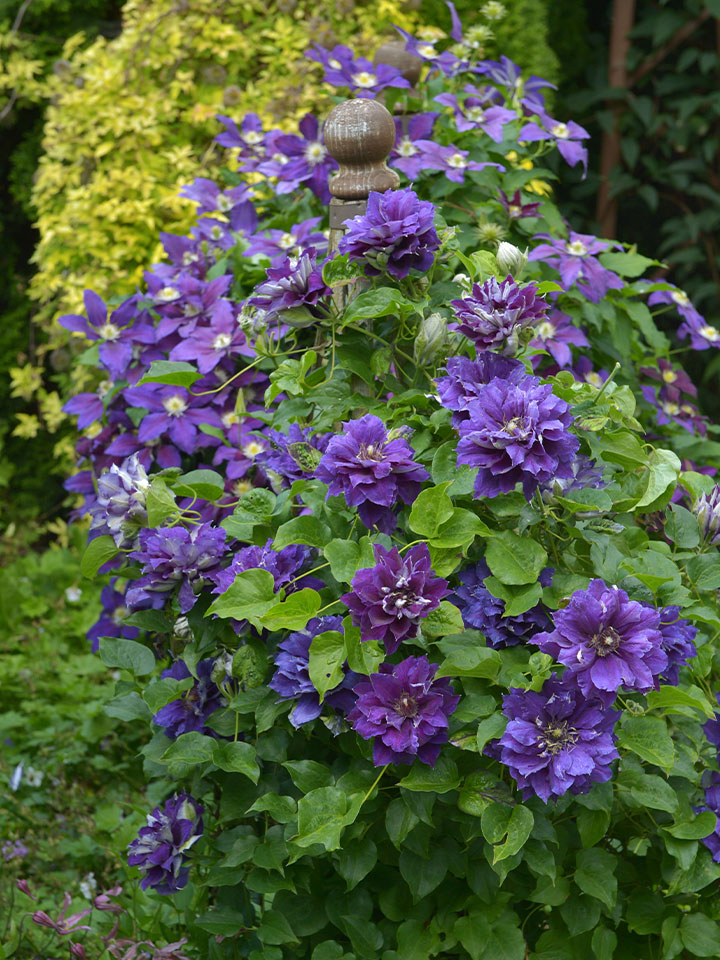 Temno vijolični cvetovi sorte klematisa 'Shin-shigyoku' se lepo izrazijo na svetlem ozadju.