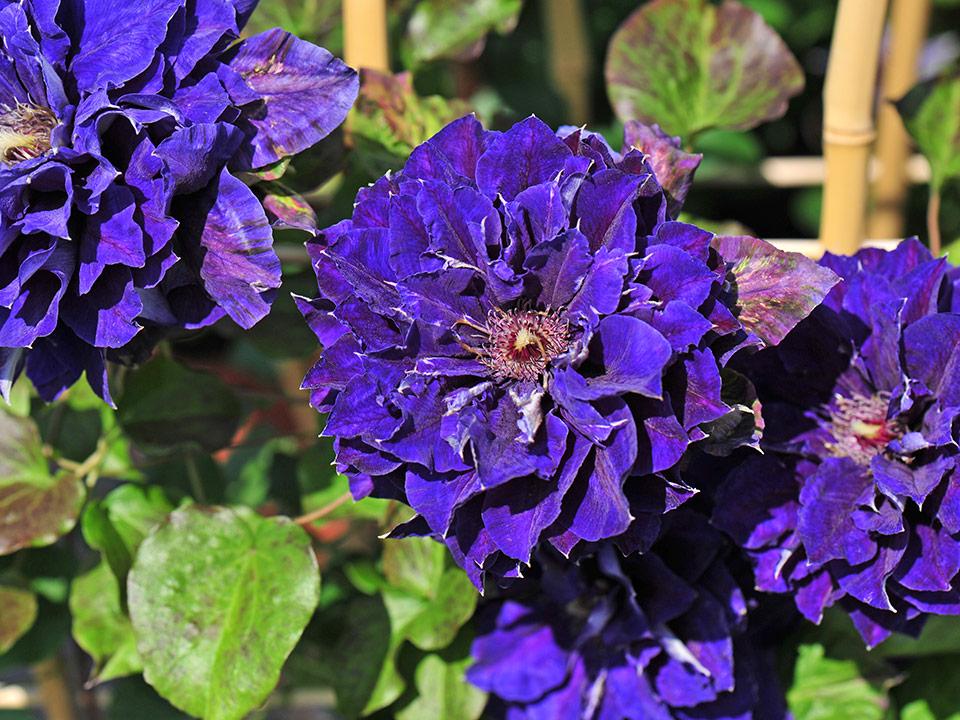 Cvetovi klematisa 'Shin-shigyoku' od blizu.