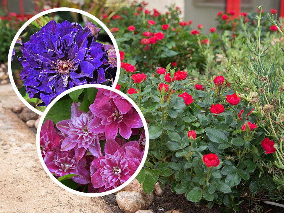 Neutrudno cvetoča, odporna, nizka vrtnica in velikocvetni klematisi
