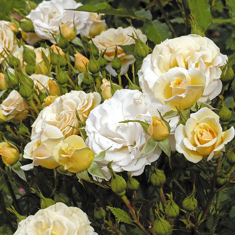 vrtnica mnogocvetna