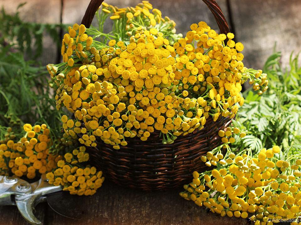 cvetovi vratiča