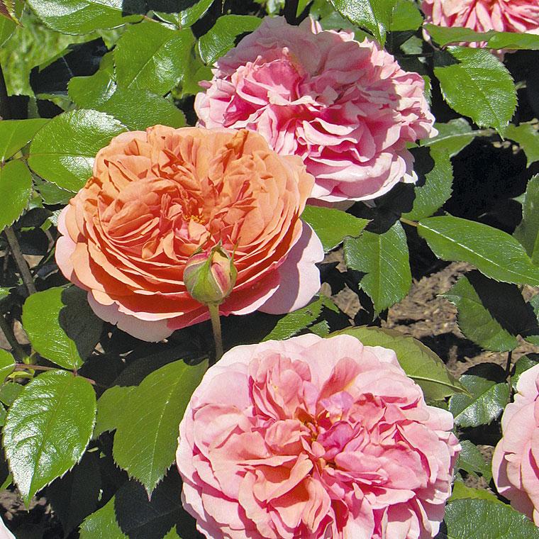 Retro vrtnica Chipendale