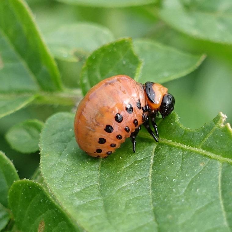 koloradski hrošč ličinka