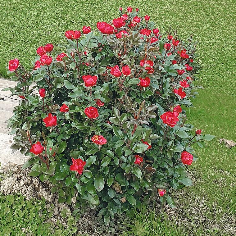 Prekrovna vrtnica Zepetti