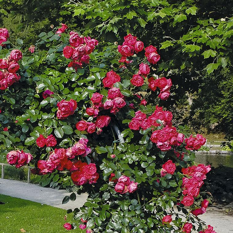 Popenjava vrtnica Florentina