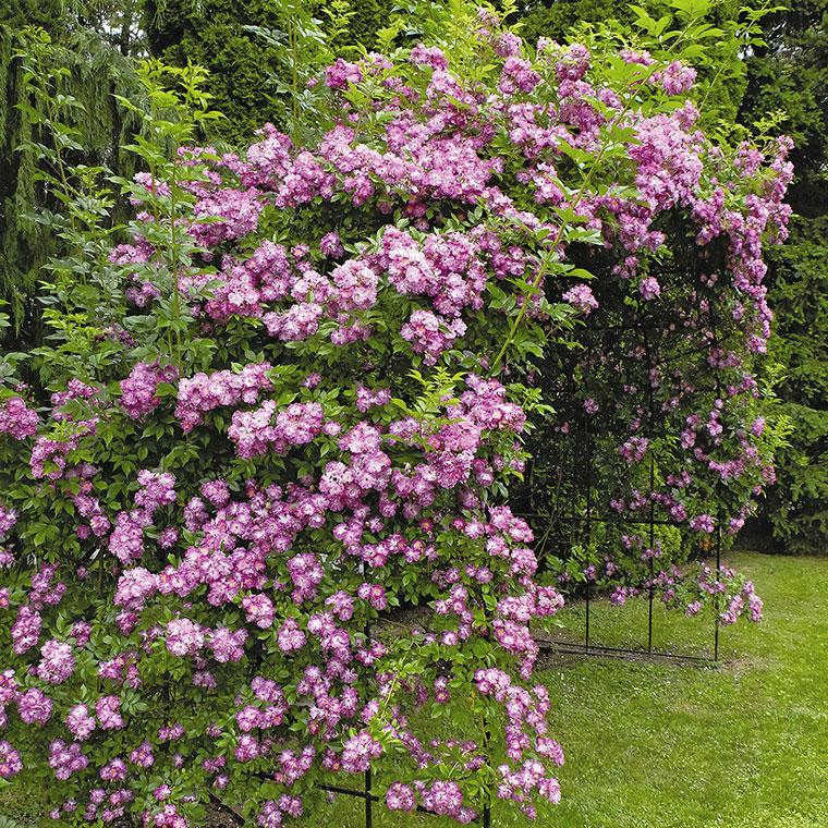 Vrtnica rambler Veilchenblau