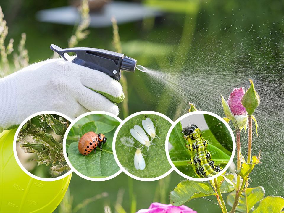 Naravno škropljenje listnih uši, pršic, gosenic, koloradskega hrošča in ostalih škodljivcev