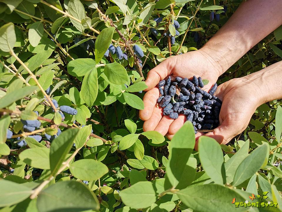 Obiskali smo nasad haskap jagod in se prijetno posladkali