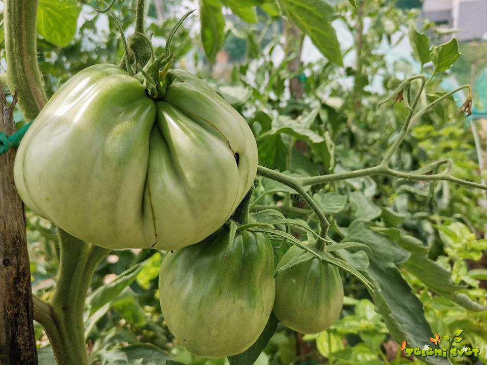 zelen paradižnik