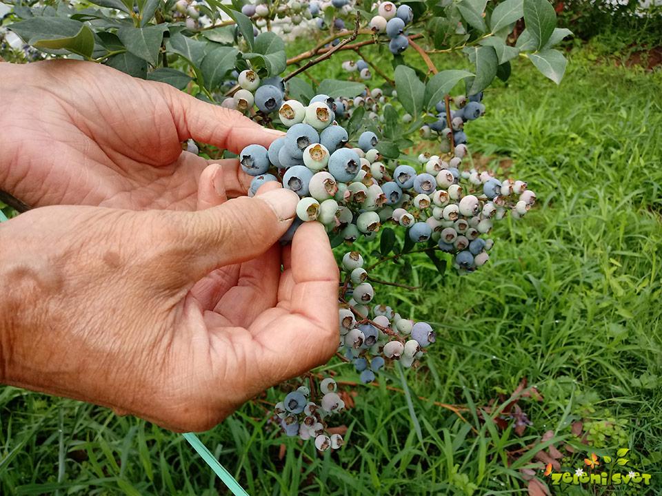 Obiranje ameriških borovnic in najboljša kakovost plodov