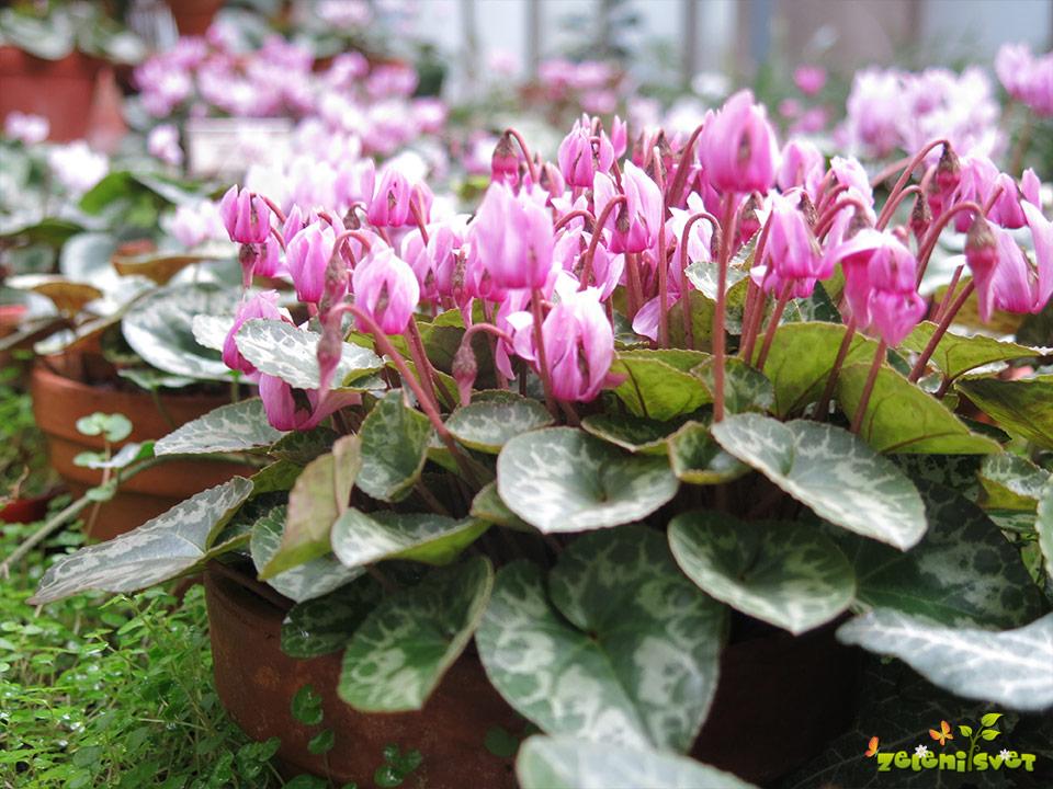 cvetovi ciklame