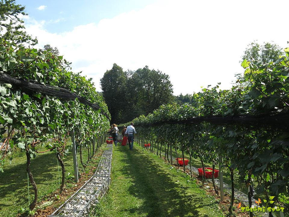 grajski vinograd ljubljana trte