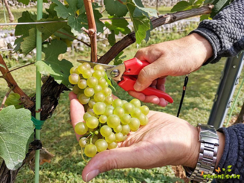 Trgatev grozdja v ljubljanskem Grajskem vinogradu