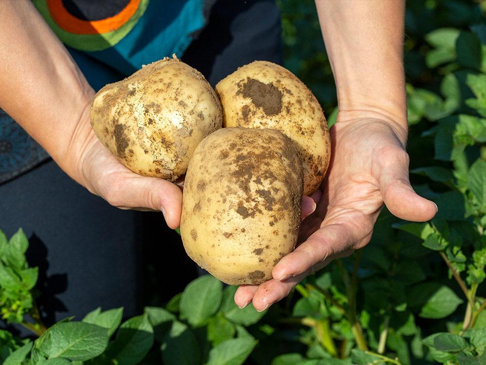 Na poskusnem polju kmetije »Pr  Tončk« smo ocenili najboljši krompir
