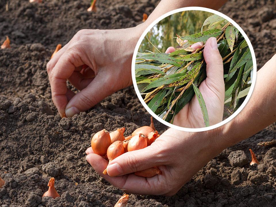 Sorte čebule, ki jih sadimo v jesenskem času in vrbovo lubje za razkuževanje