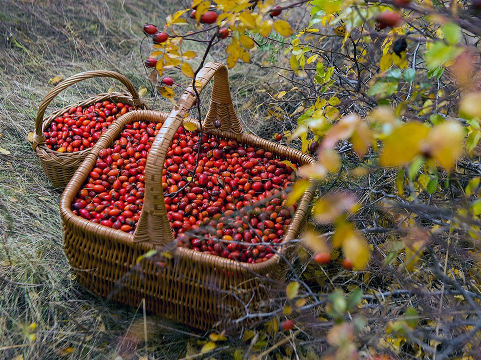 Šipek nabiramo v jesenskem času za zdravilni čaj in domačo marmelado